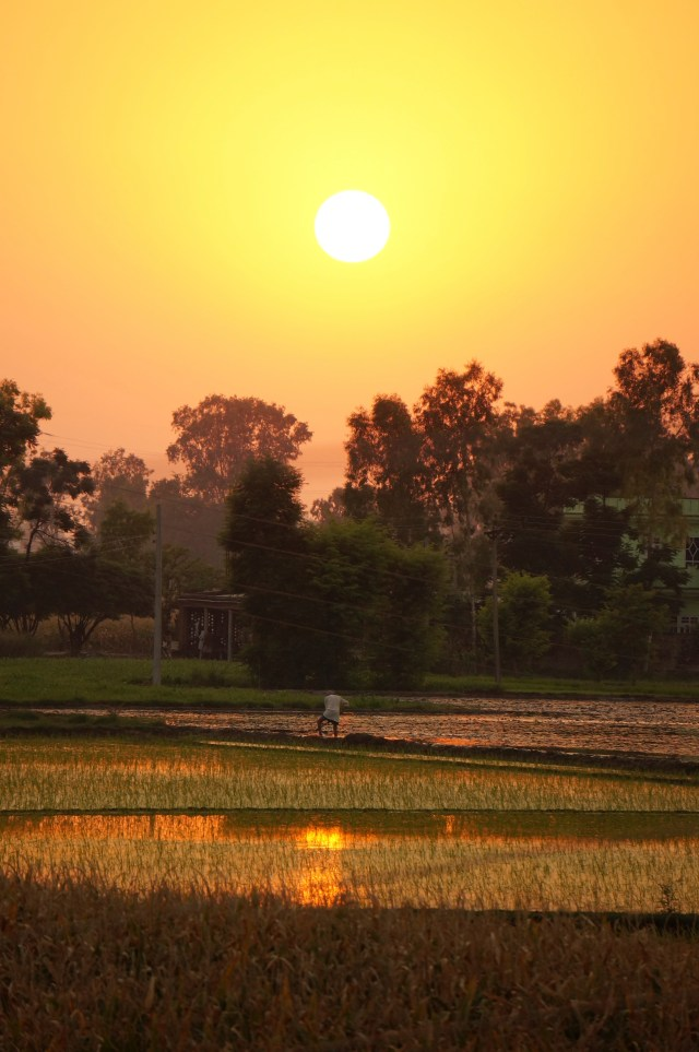 Rice fields in India