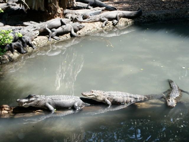 Little gators sitting on a log