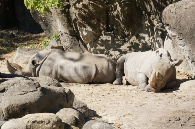 Black Rhinos Basking at the Zoo in Maryland