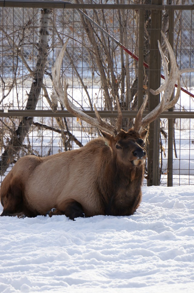 Majestic elk on the river's edge