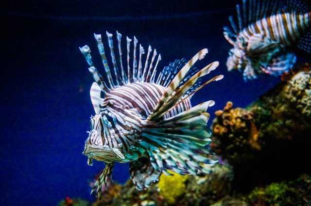 Lionfish National Aquarium Baltimore
