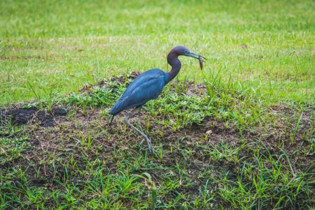 Blue Heron - Wildlife across North America