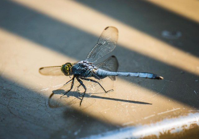 Dragon Fly on the boat rail of our Pearl River Eco Tour