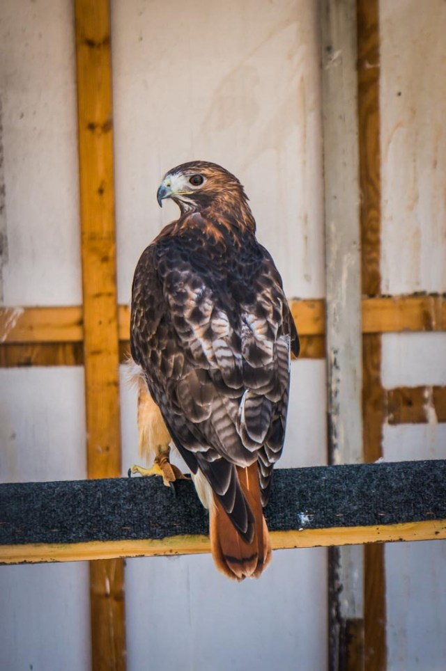 Tanglewood Nature Center Red Tailed Hawk