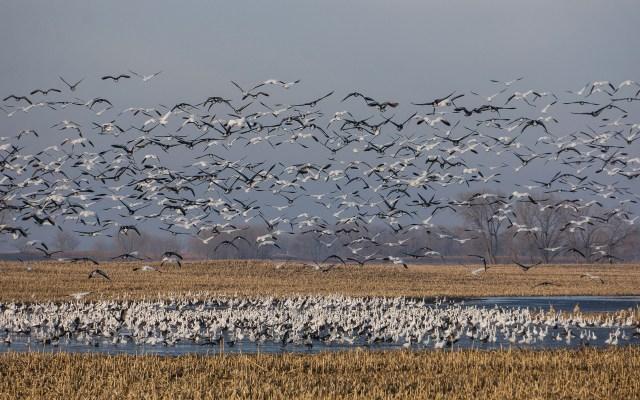 Migratory Birds on a lake in North Dakota