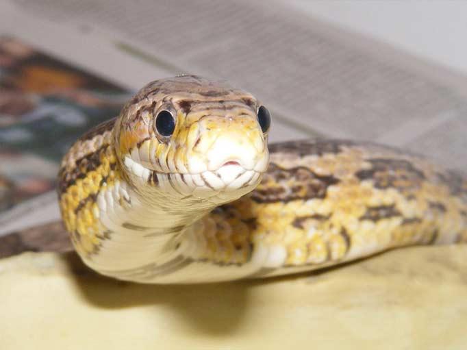 corn snake, majsorm