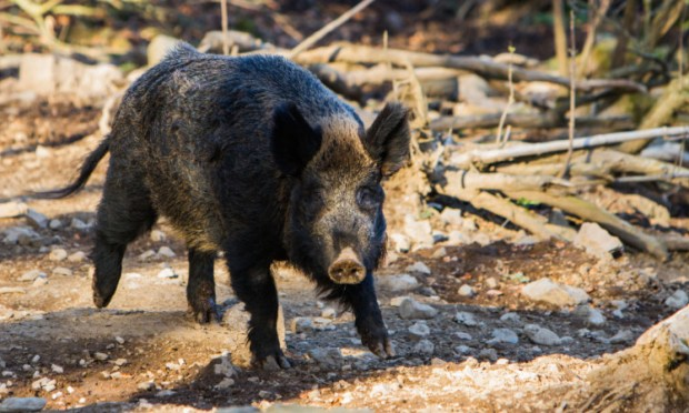 Boar escaped from Bamff Home Farm towards the end of last year.