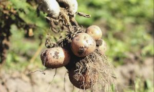 The monitor farm near Meigle will conduct potato trials.