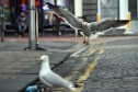 Gulls are becoming more and more prevalent in urban areas, it has been suggested.