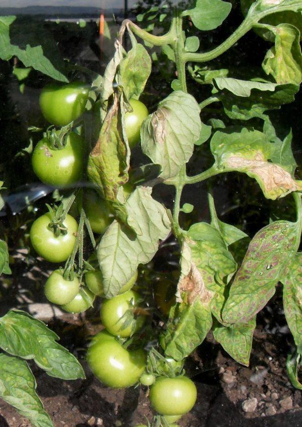 botrytis on tomato factsheet cornell university - HD768×1083