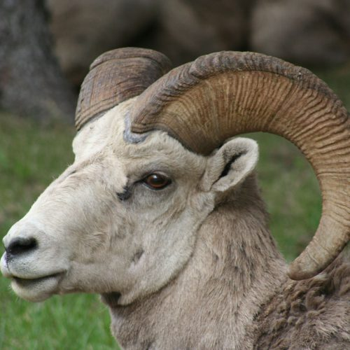 Bighorn Sheep, Waterton