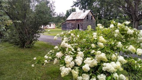 Print shop, with hydrangea tree in foreground