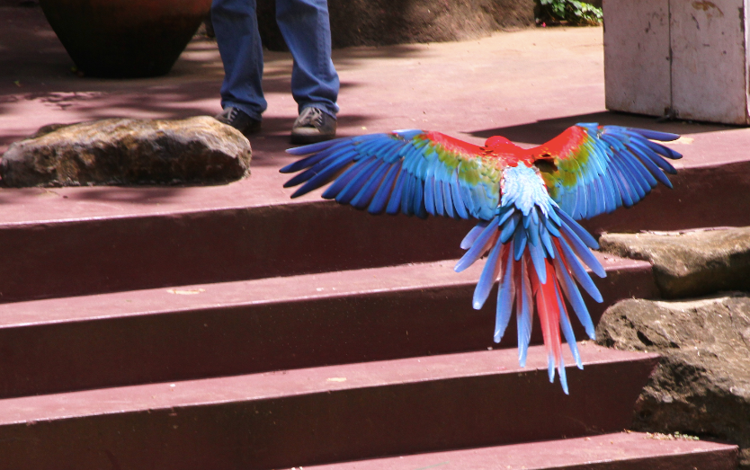 Freeflighted macaw