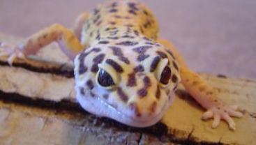 Freckles the leapard gecko