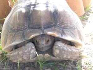 Scooter – Giant African Spurred Tortoise