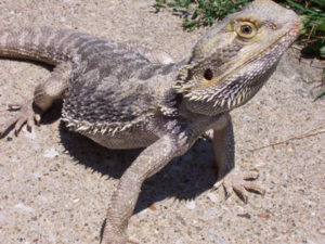 bearded-dragon-02