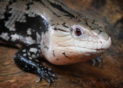 Jethro - blue tongued skink
