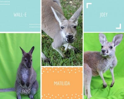 Kangaroos and Wallaby