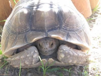 Scooter Giant African Spurred Tortoise