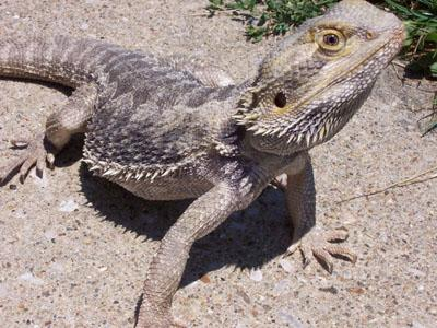 Dino - Bearded Dragon