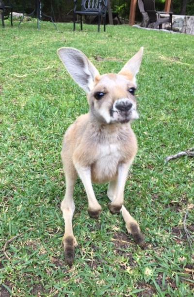 Kosmo the kangaroo