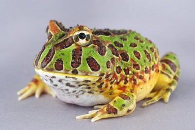 Pacman -the Pacman Frog