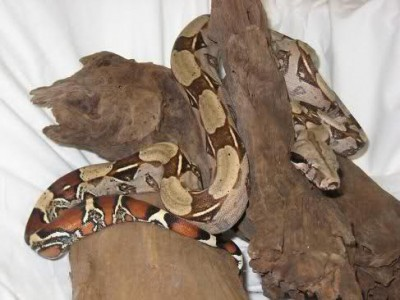 Thor - 6' Red Tailed Boa Constrictor