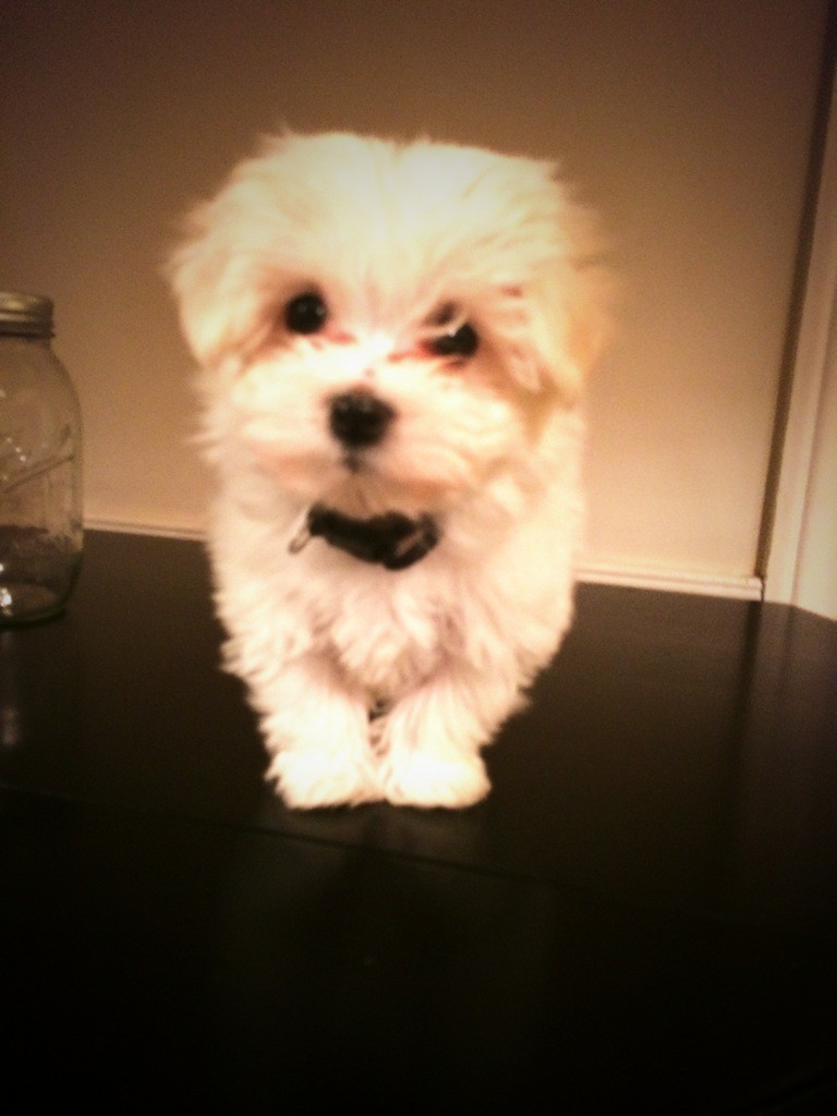 Buddha the Maltipoo