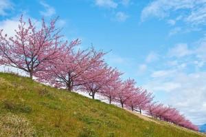Cherry blossoms in Kawazu-zakura by peaceful-jp-scenery on Flickr
