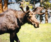 Research on Animal Attitudes; Elk, Cow most Biased