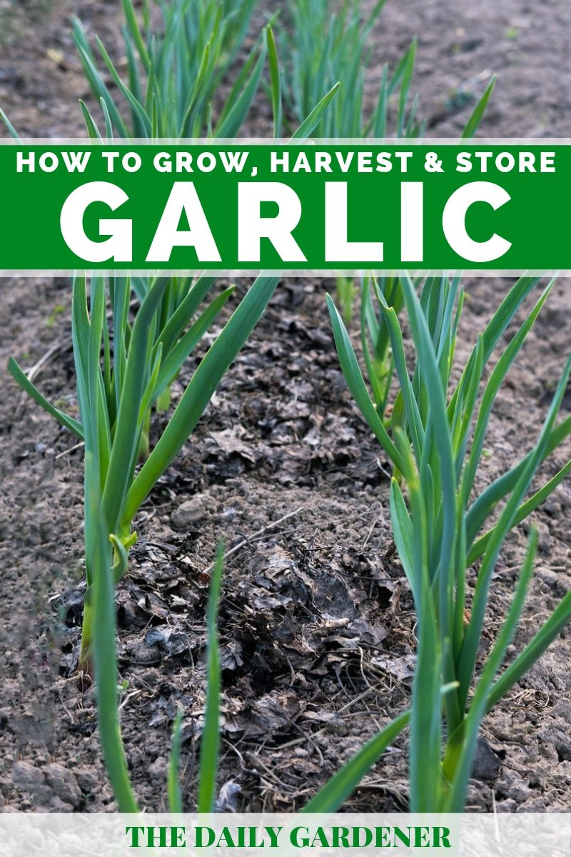 How To Grow Harvest And Store Garlic