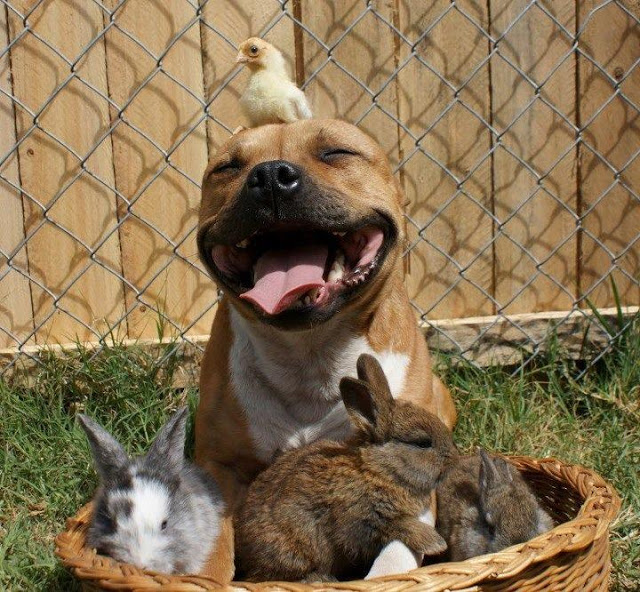 Pit Bull Ban In Montreal