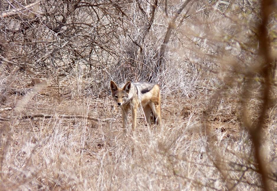 Black-backed Jackal Kruger Safari
