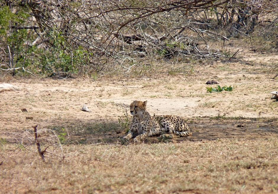 Guepard Afrique du Sud