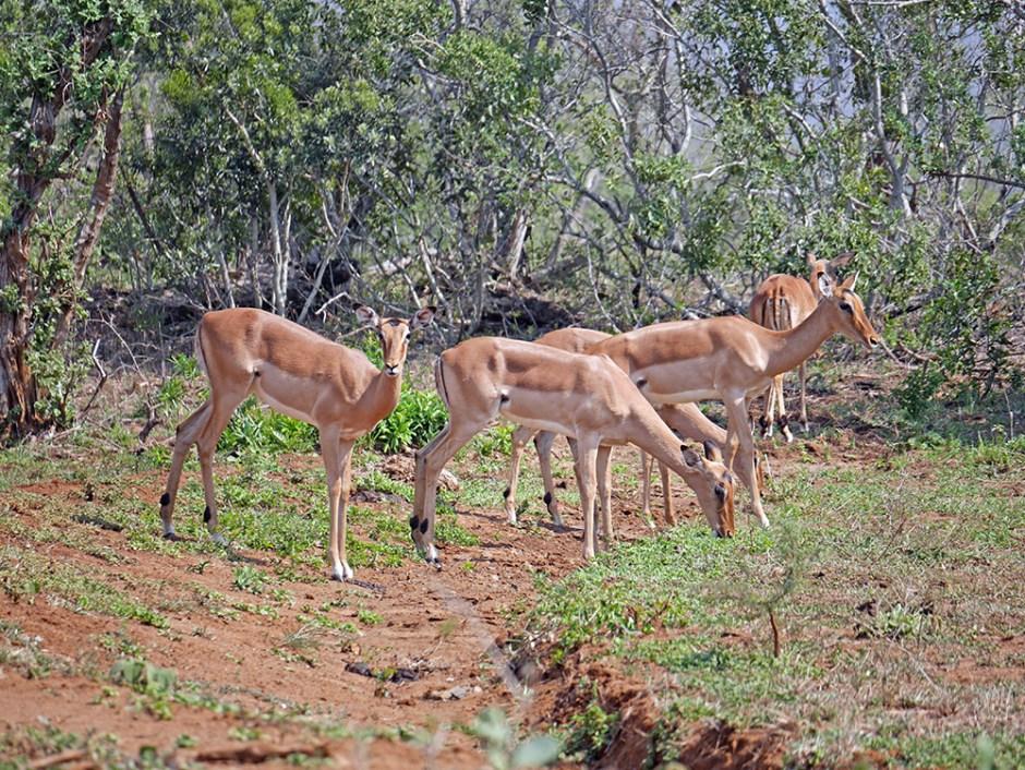 Impala Safari