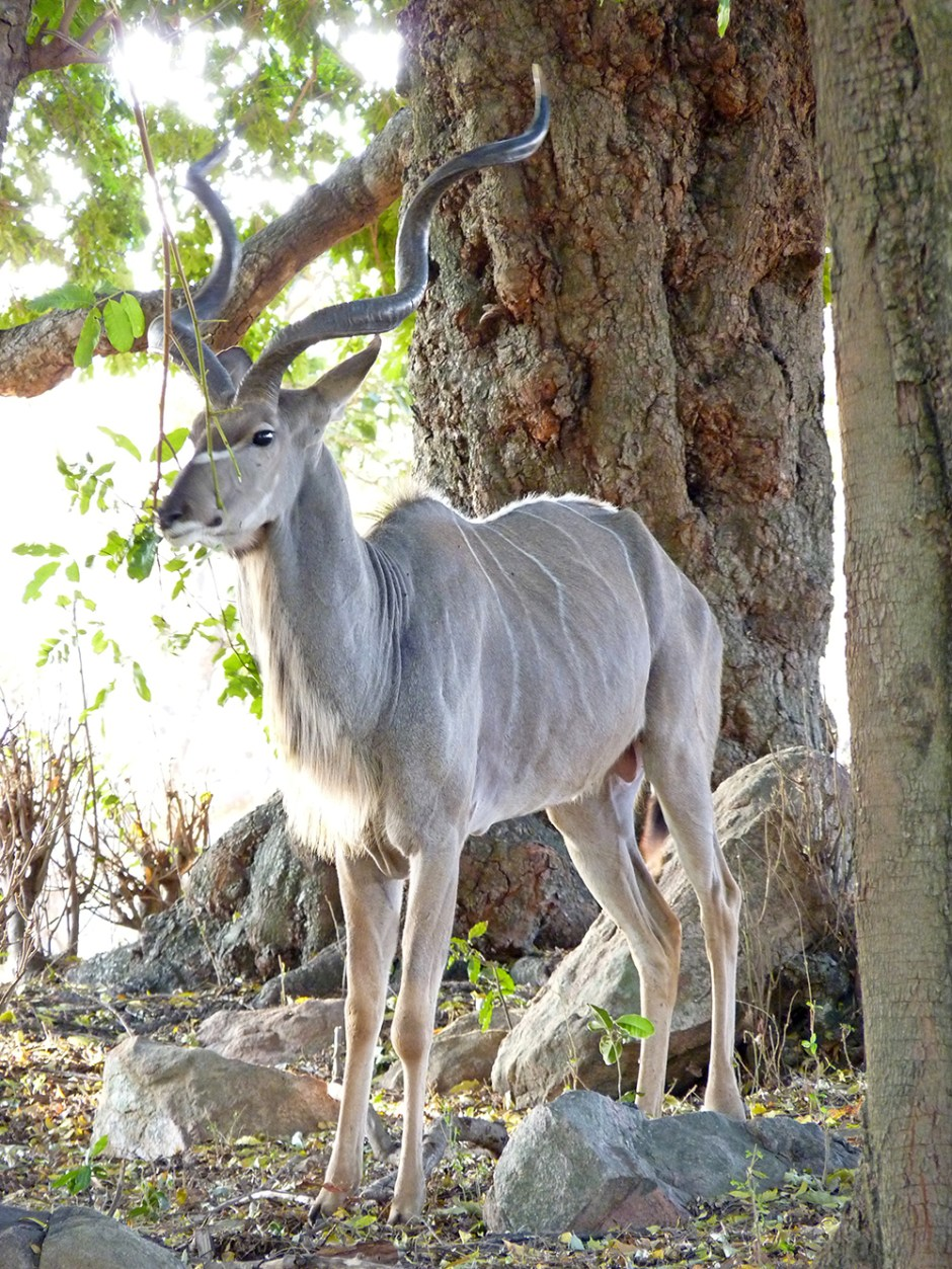Kudu Afrique du Sud
