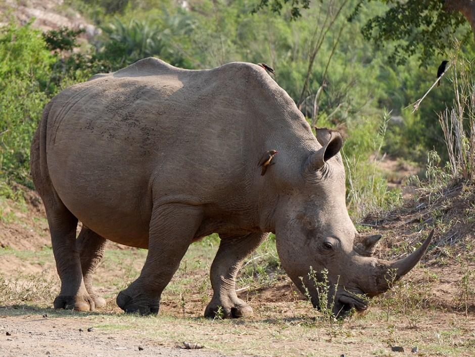 Rhinoceros Parc Kruger
