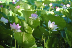Lotus Field at Los Pablanos