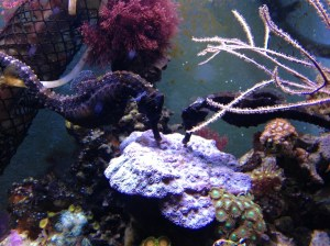 13A Seahorses eating off plate coral