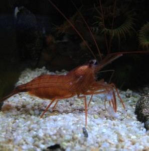 13B Peppermint Shrimp