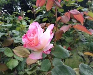 13D20 marbled rose