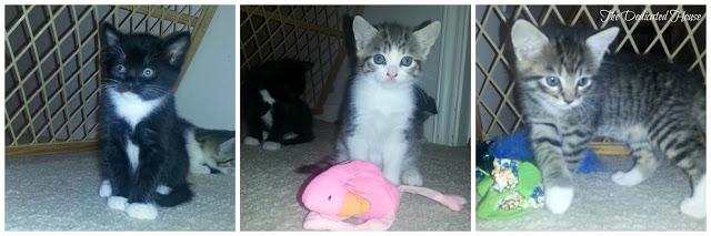 Kittens-Week-6-Collage.jpg.jpg