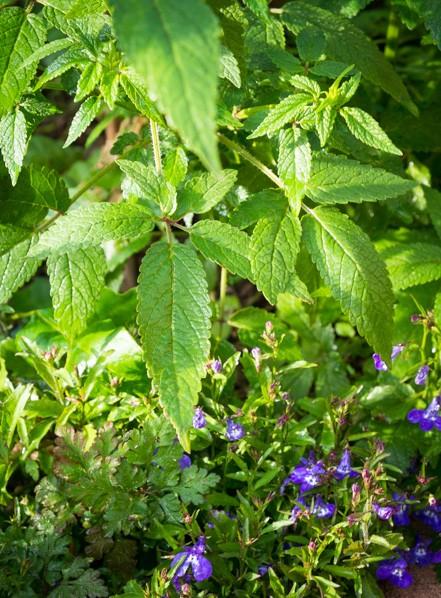 herbacious-layer-Balm-of-Gilead