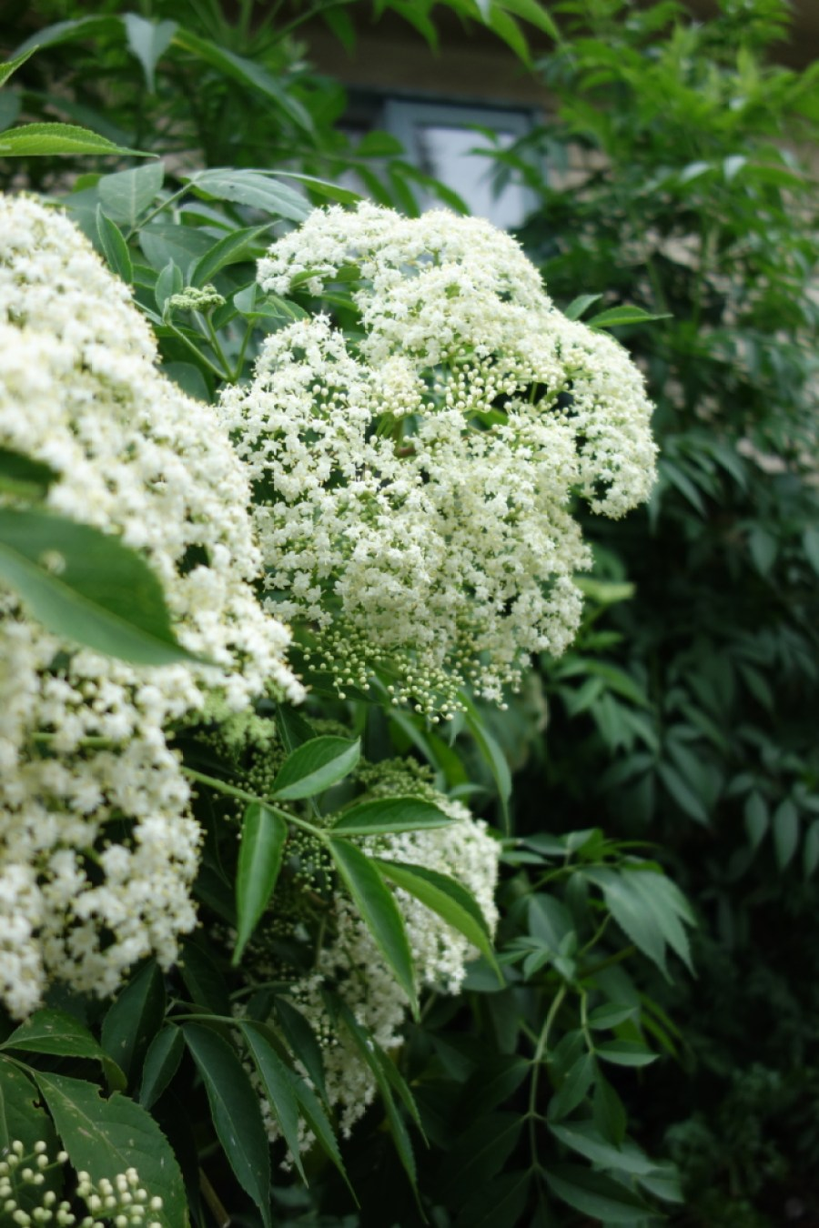 white-blossom_elderflower_cordial-recipe_high-summer