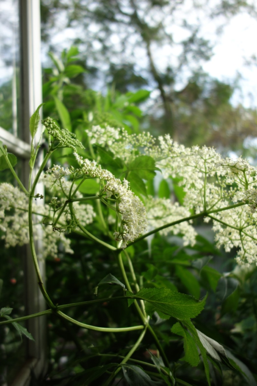window_elderflower_cordial-recipe_high-summer