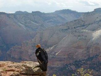 Zion Condor