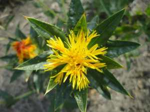 a close up shot of a safflower in full bloom