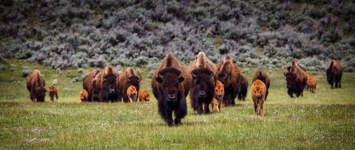 a herd of buffalo wonders through a pasture