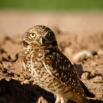 JABO (just another burrowing owl)
