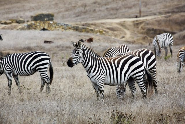 Hearst Castle has its own zoo of exotic animals